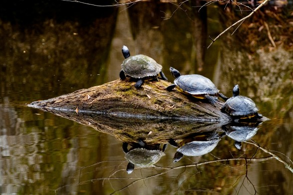 5_biedler turtles 2_585_389_90