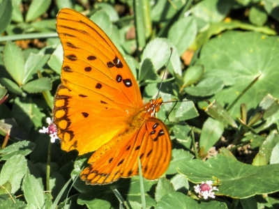 ButterflyGulfFritillary