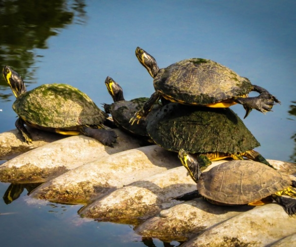 TurtleAcrobatl1.jpg-1